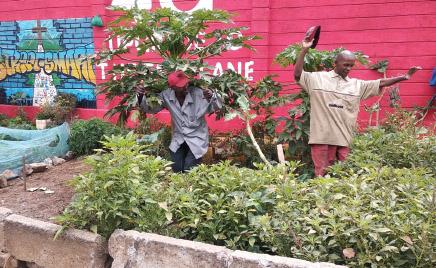 Kaksi kenialaista miestä hoitamassa istutuksia